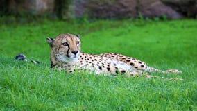 Unikalny gepard w zielonej trawy wzgórzu, wysoka definici fotografia ten cudowny ssak w południowym Africa zdjęcia stock