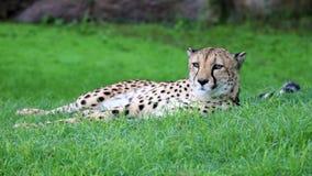 Unikalny gepard w zielonej trawy wzgórzu, wysoka definici fotografia ten cudowny ssak w południowym Africa obrazy stock
