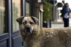 Unikalny Przybłąkany pies z Różnymi Barwionymi oczami Obraz Stock