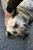 Unikalny Przybłąkany pies z Różnymi Barwionymi oczami Obrazy Stock