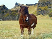 Unikalny stylowy Islandzki koń Fotografia Royalty Free