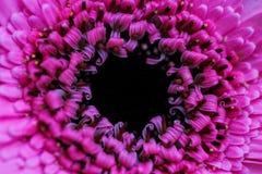 Unikalnych gorących menchii jaskrawy i piękny kwiatu zakończenie Obraz Stock