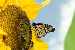 Monarch butterfly on sunflower a.k.a. The unimport Stock Photo