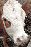 Unimpressed Cow. Cow on a farm, waiting for gate to be opened Royalty Free Stock Photography