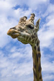 Unimpressed Giraffe. A giraffe looking somewhat unimpressed Stock Photo