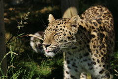 An unimpressed leopard sticking its tongue out Royalty Free Stock Photography