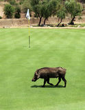 Uninvited participant at Gary Player Charity Invitational Golf T Royalty Free Stock Photography