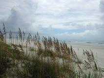 Uniola Paniculata rośliny R w piasek diunach na Atlantyckim oceanu wybrzeżu w Floryda (Denni owsy) Obraz Stock