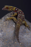 Union island gecko / Gonatodes daudini Stock Image