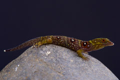 Union island gecko / Gonatodes daudini Royalty Free Stock Photos