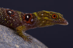 Union island gecko / Gonatodes daudini Royalty Free Stock Images