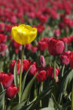 Unique. Single yellow tulip among red Royalty Free Stock Photo