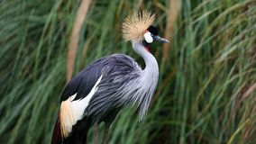 Unique african crowned crane in a lake, high definition photo of this wonderful avian in south america. African crowned crane in water fishing royalty free stock photo