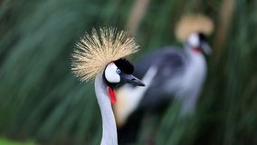 Unique african crowned crane in a lake, high definition photo of this wonderful avian in south america. African crowned crane in water fishing royalty free stock images