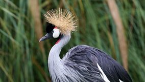 Unique african crowned crane in a lake, high definition photo of this wonderful avian in south america. African crowned crane in water fishing royalty free stock image
