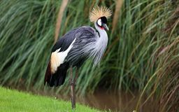 Unique african crowned crane in a lake, high definition photo of this wonderful avian in south america. African crowned crane in water fishing royalty free stock photos
