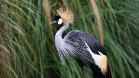 Unique african crowned crane in a lake, high definition photo of this wonderful avian in south america. African crowned crane in water fishing stock images