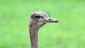 Unique african ostrich, high definition photo of this wonderful avian in south Africa. African ostrich head shot stock images