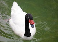Unique back-necked swan in a lake, high definition photo of this wonderful avian in south america. Peaceful and gorgeous bird stock photo