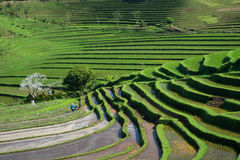 Unique balinese ricefields. Overlooking rice fields at spring Royalty Free Stock Photography