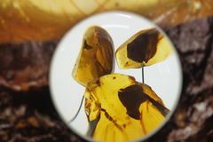 Unique Baltic amber Royalty Free Stock Photo