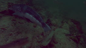 Unique beautiful fish on background of clear seabed underwater of New Zealand. stock video footage