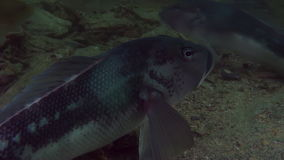 Unique beautiful fish on background of clear seabed underwater of New Zealand. stock footage