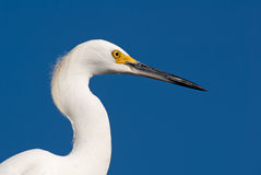 Unique Beautiful White Egret Royalty Free Stock Photography