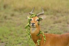 Unique Behavior from a Ugandan Kob. In Queen Elizabeth National Park royalty free stock images