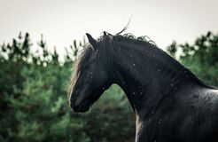 A black Friesian horse gallops in a meadow in autumn colors