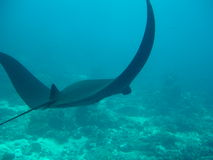 Unique Black Manta Ray. Black Manta Ray cruises over reef stock photo