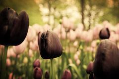 Unique black tulip flowers in green grass Royalty Free Stock Image