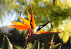 Decorative flower Bird of Paradise in the nature Stock Images