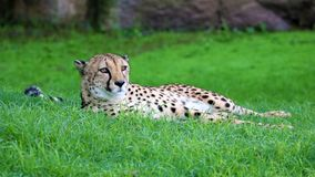 Unique cheetah in a green grass hill, high definition photo of this wonderful mammal in south africa. Dangerous feline Stock Photos
