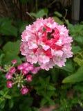 Unique colored flower. In my flower garden Stock Photos