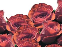 Unique colored roses Royalty Free Stock Image