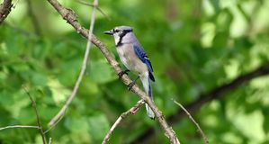 Unique colorful blue Jay beautiful bird in Michigan. Royalty Free Stock Photo
