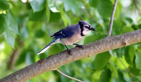 Unique colorful blue Jay beautiful bird in Michigan. stock image