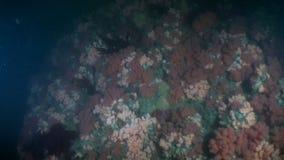 Unique colorful sea landscape underwater in ocean of Alaska. stock footage
