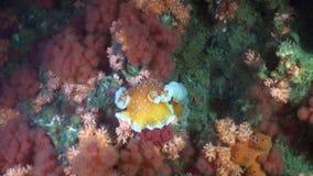 Unique colorful sea landscape underwater in ocean of Alaska. stock video