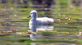 Unique cygnet baby swan in a lake, high definition photo of this wonderful avian in south america. Unique swan with baby cygnets in a lake, high definition stock image