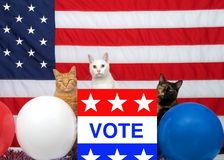 Trio of patriotic cats ready to vote stock images