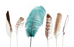 Unique feather. Group of brown and white feathers with one large green feather Stock Photography