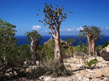 Unique flora of Socotra Island. Bottle tree, cucumber tree and desert rose - unique flora of Socotra Island, Yemen Royalty Free Stock Photography