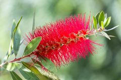 Crimson Bottlebrush Bloom. A unique flower bloom of the Melaleuca citrina plant.  It is easy to see why this is called a bottlebrush flower Royalty Free Stock Image