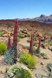 Unique flowers in Tenerife. Unique flowers, Echium wildpretii, also know as tower of jewels, red bugloss, Tenerife bugloss or Mount Teide bugloss. In Tenerife Stock Photography