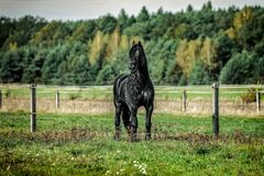 Friesian horse with long mane walking free in the meadow
