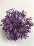 Allium flower: exquisite beauty to gardeners stock images