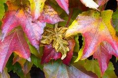 Unique golden leaf between autumn leaves. Of a suckert, woodbine - five finger Stock Photos