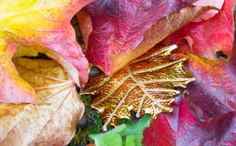 Unique golden leaf between autumn leaves. Of a suckert, woodbine - five finger Royalty Free Stock Photography